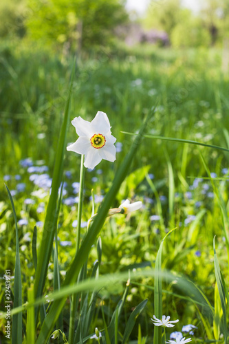 In de dag Narcis Narcissus poeticus or daffodil white flower in spring garden