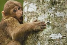 Juevenile Tibetan Macaque