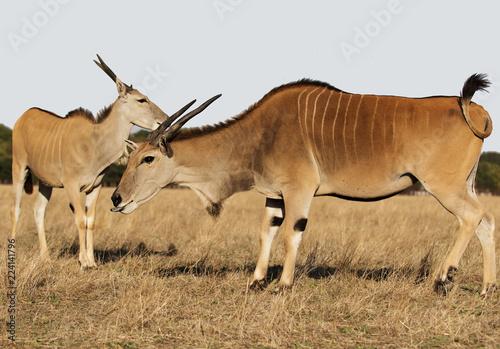 cane antelope