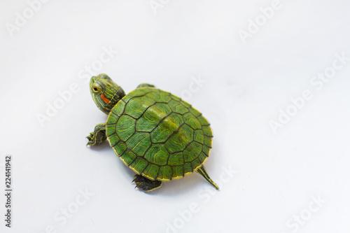 Obraz na płótnie little half-sea turtle