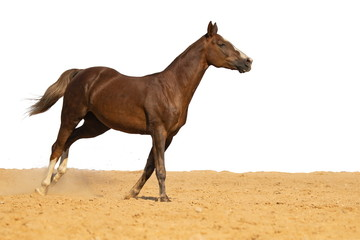Brown Horse gallops through the sand into the pen, without people.