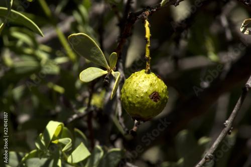 Fotografie, Obraz  Quandong on Gnamma Trail, Hyden, WA, Australia