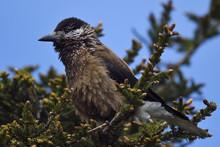 Eurasian Spotted Nutcracker Bird