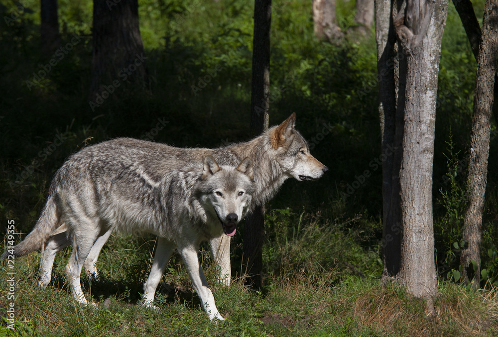 Two Timber wolves or grey wolves (Canis lupus) walking in the woods in summer in Canada