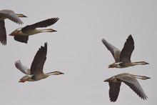 Swan Geese Flying