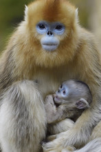 Close Up Of Golden Snub Nosed Monkey With Her Baby