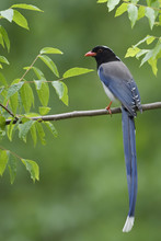 Red Billed Blue Magpie Perching On Branch, China