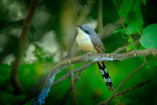Mangrove Cuckoo, Coccyzus Minor, Rare Bir In The Forest Habitat, Sitting On The Tree Branch. Tropic Wildlife Scene From Nature, Bird With Long Near The River Rio Frio, Costa Rica.