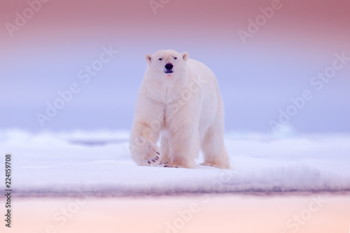 Deurstickers Ijsbeer Polar bear on drift ice edge with snow and water in sea. White animal in the nature habitat, north Europe, Svalbard. Wildlife scene from nature. Pink blue twilight with polar bear, beautiful evening.