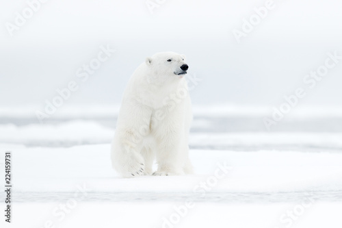 Polar bear on drift ice edge with snow and water in sea. White animal in the nature habitat, north Europe, Svalbard, Norway. Wildlife scene from nature. Dangerous bear walking on the ice.