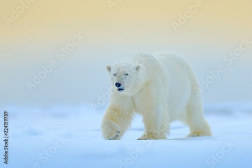 Polar bear on drift ice edge with snow and water in Manitoba, Canada. White animal in the nature habitat. Wildlife scene from nature. Dangerous bear walking on the ice, beautiful evening sky.