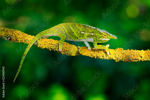 Canopy Wills chameleon, Furcifer willsii,sitting on the branch in forest habitat. Exotic beautifull endemic green reptile with long tail from Madagascar. Wildlife scene from nature.