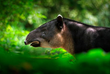Tapir In Nature. Central America Baird's Tapir, Tapirus Bairdii, In Green Vegetation. Close-up Portrait Of Rare Animal From Costa Rica. Wildlife Scene From Tropical Nature. Detail Of Beautiful Mammal.