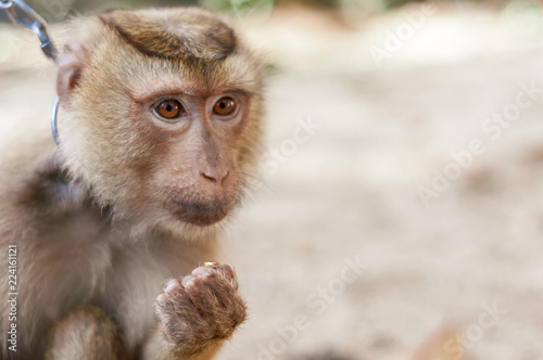 Long tailed Macaque Monkey eat outdoor background