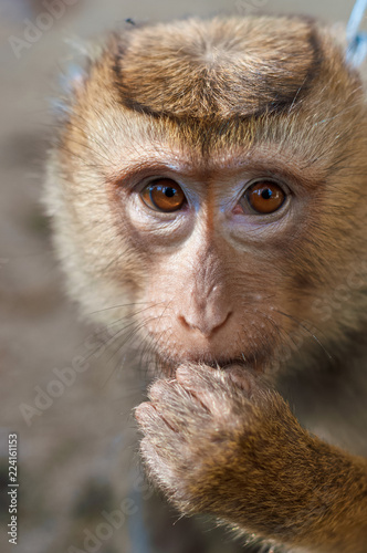 Foto op Plexiglas Aap Long tailed Macaque Monkey eat outdoor background