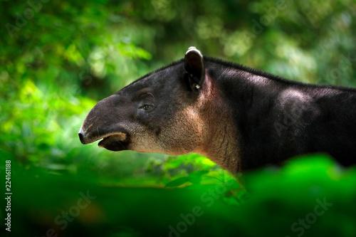 Fotografie, Obraz  Tapir in nature