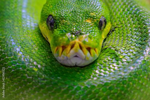 Fototapeta premium Pyton zielony, Morelia viridis, wąż z Indonezji, Nowej Gwinei. Szczegółowy portret głowy węża, w lesie. Gad w środowisku leśnym. Scena dzikiej przyrody z Azji.