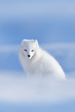 Polar Fox In Habitat, Winter Landscape, Svalbard, Norway. Beautiful White Animal In The Snow. Wildlife Action Scene From Nature, Vulpes Lagopus, Face Portrait Of White Fur Coat Fox. Mammal From Europe