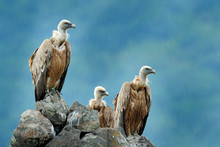 Group Of Vultures. Griffon Vul...