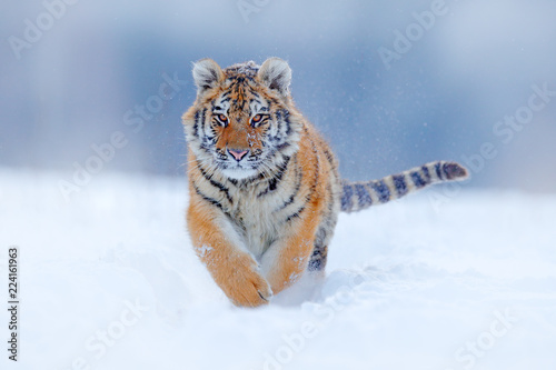 Tiger face running in snow. Amur tiger in wild winter nature. Action wildlife scene, dangerous animal. Cold winter in taiga, Russia. Snowflakes with beautiful Siberian tiger, Panthera tigris altaica