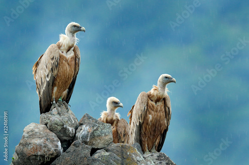 Photo Group of vultures