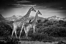 Two Giraffes With Drakensberg Mountain. Vegetation With Big Animals. Wildlife Scene From Nature. Evening Light In The Forest, Africa. Black And White Art Photo.