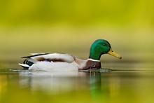 Water Bird Mallard, Anas Platy...