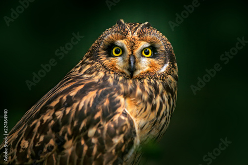Detail portrait of owl, fixed eyes. Short-eared Owl, Asio flammeus, sitting on the spruce tree. Bird in the habitat, beautiful yellow eyes. Wildlife scene from Europe.