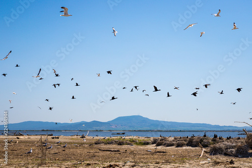 Black and white sea birds flying over a small island in Evros, Greece