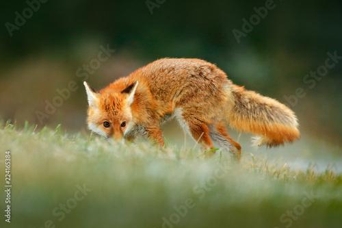 Red Fox jumping , Vulpes vulpes, wildlife scene from Europe  Orange