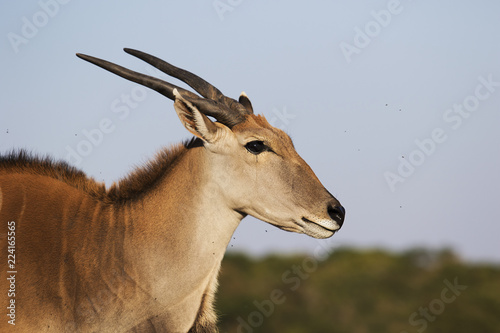 Fotobehang Antilope antelope canna in the savannah
