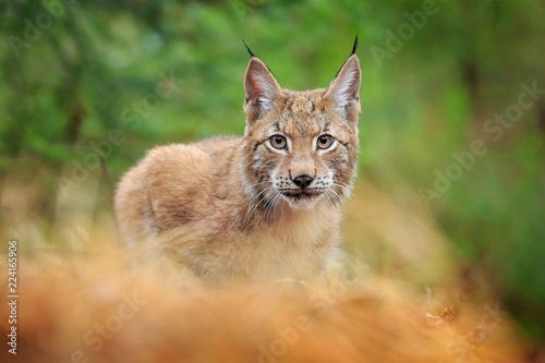 Fototapeta premium Spacerujący ryś euroazjatycki. Dziki kot z Niemiec. Bobcat wśród drzew. Polowanie na mięsożerne w jesiennej trawie. Ryś w zielonym lesie. Scena dzikiej przyrody z natury, Czechy, Europa.