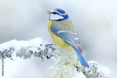 Fotografia Bird Blue Tit in forest, snowflakes and nice lichen branch