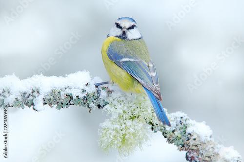 Fototapeta premium Pierwszy śnieg w przyrodzie. Śnieżna zima z ślicznym ptakiem. Modraszka zwyczajna w lesie, płatkach śniegu i ładnej gałęzi porostów. Scena dzikiej przyrody z natury. Szczegółowy portret pięknego ptaka, Niemcy, Europa.
