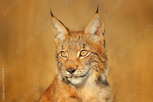 Poster Lynx Portrait of Eurasian Lynx, wild cat on the meadow. Wildlife scene from nature. Cute big cat hidden in the grass.