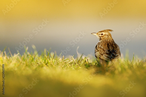 Valokuva  Crested Lark, Galerida cristata, in the grass on the meadow