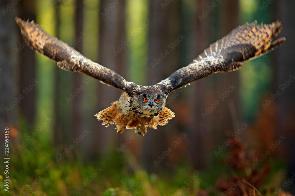 Flying Eurasian Eagle Owl with open wings, action wildlife scene from nature, Germany. Dark forest with bird. Owl in forest habitat, tree stump. Bird in the forest habitat.