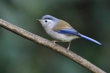 Blue-winged Minla Bird