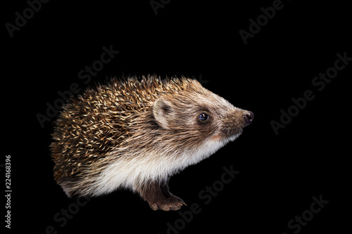 Pinturas sobre lienzo  Hedgehog isolated on black background