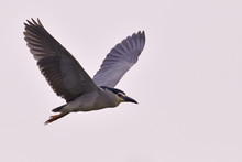 Black Crowned Night Heron Flying
