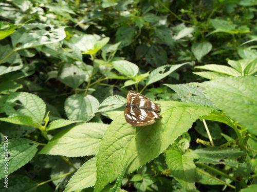 ダイミョウセセリ butterfly