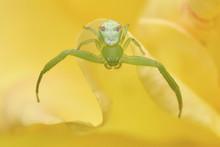 Crab Spider Close Up
