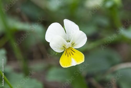 Staande foto Pansies Beautiful pansy flower on blurred green background