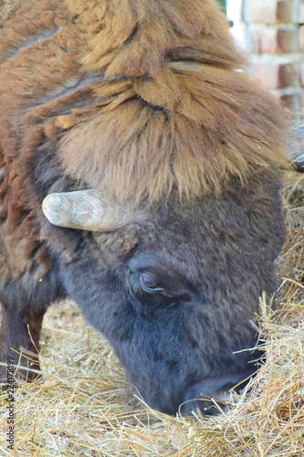 Portrait of bison bison bonasus with horns eating hay