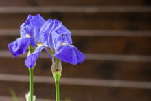 Two Blue Iris Flowers Closeup On Wooden Fence Background