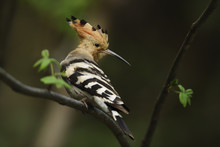 Common Hoopoe Bird