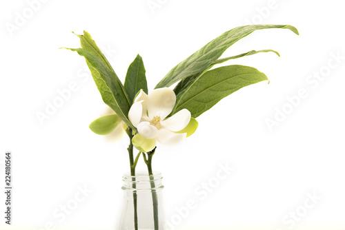 White magnolia flower on white background.