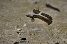 Bluespotted Mudskipper Swimmin...