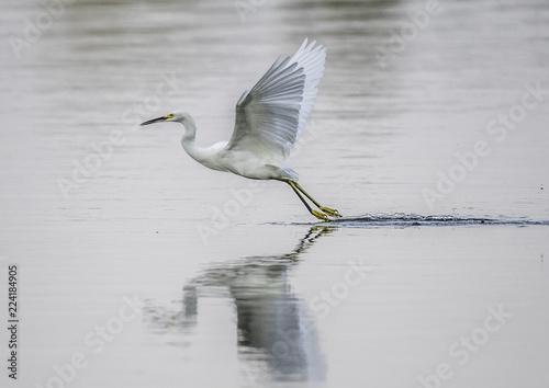 Valokuva  Snowy egret, Egretta thule