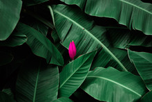 Tropical Banana Leaves Textured With Pink Banana Blossom  Blooming,foliage Nature Dark Green Background.
